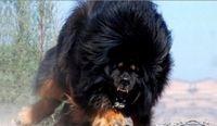 Capa As 3 raças de cães mais perigosas do mundo!